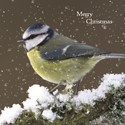 RSPB Small Square Christmas Card Pack - Snowy Perch